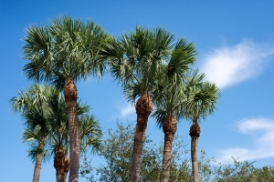 Palm trees and sky free stock image