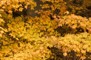 Golden fall foliage free stock photo