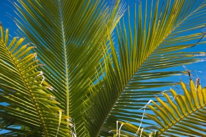 Palm fronds free stock photo
