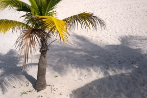 Palm tree on beach free stock photo