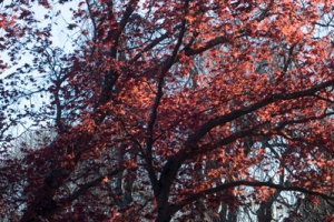 Red-leaved tree free stock picture
