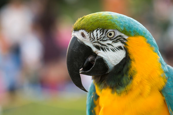 Blue and Gold Macaw and bokeh background
