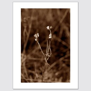 Limited edition print of sepia-toned plant illuminated by streetlights at night