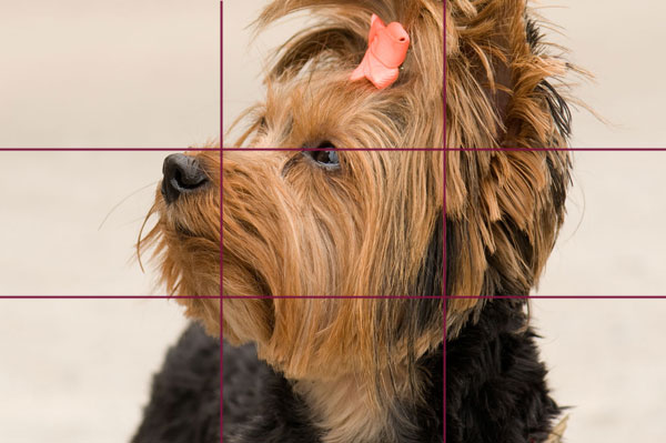 Poorly-composed crop of a Yorkshire Terrier.